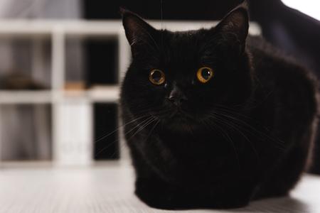 furry dark cat sitting on table