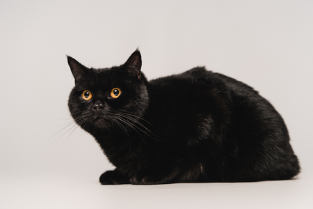 fluffy black cat sitting on table isolated on grey
