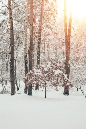 scenic view of beautiful snowy winter forest with sunlight Stock Photo