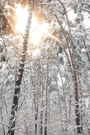 scenic view of snowy trees and sunlight in winter forest