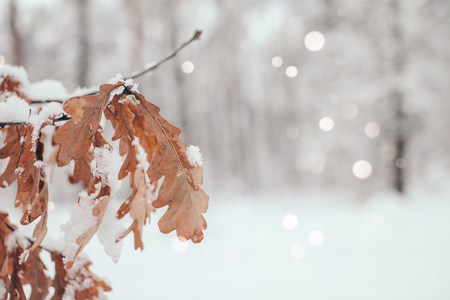 scenic view of oak leaves with snow in winter forest and blurred falling snowflakes Stock Photo