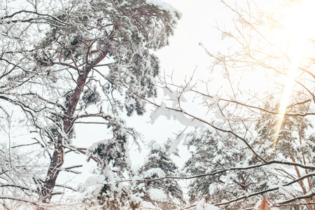 low angle view of snowy winter forest and side lighting
