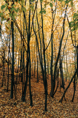 Yellow fallen leaves on ground near trees in forest