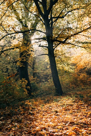Sunshine on fallen leaves in autumn forest