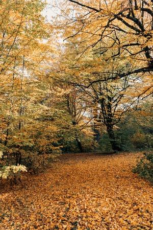 Golden fallen leaves near trees in forest