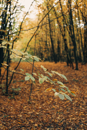 Selective focus of green leaves on tree branches in golden forest