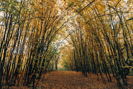 Pathway with golden fallen leaves in autumn forest Stock Photo