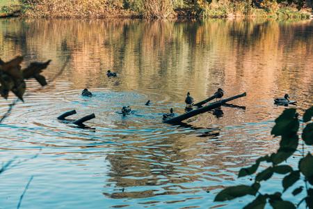 Selective focus of wild ducks swimming in lake Stock fotó