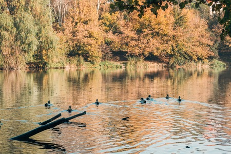 Ducks swimming in lake near peaceful autumn forest 免版税图像