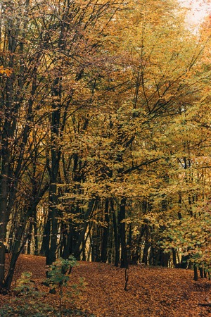 Yellow leaves on tree branches in forrest