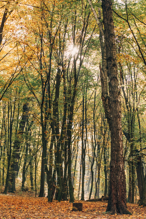 Sunshine through branches of tall trees in autumn forest Stock Photo