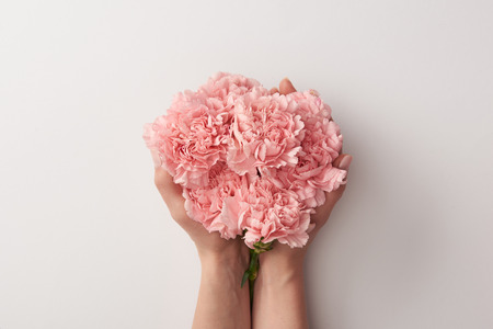 cropped shot of woman holding beautiful pink carnation flowers isolated on grey