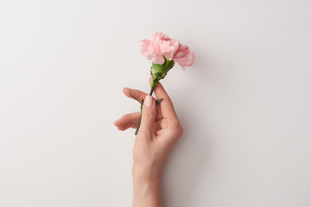 cropped shot of woman holding beautiful pink flower isolated on grey 免版税图像 - 116557729
