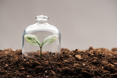 kleine grüne Pflanze bedeckt unter Glasglocke isoliert auf grau