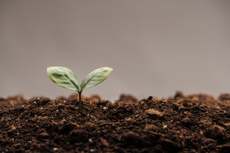 small green plant with leaves in ground isolated on grey