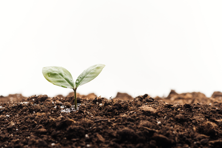 small green plant with leaves in ground isolated on white