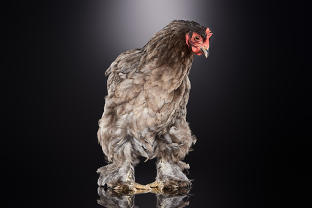 purebred farm chicken with brown feathers standing on dark grey 写真素材