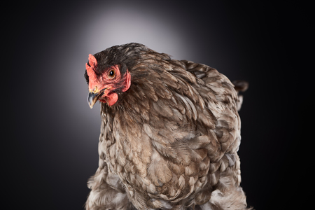 close up of cute brown farm chicken on dark grey