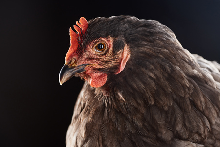 close up of cute brown chicken isolated on black
