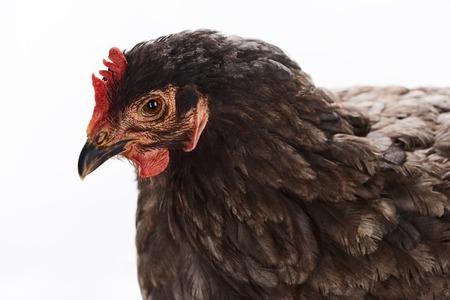 Close up of purebred brown chicken isolated on white