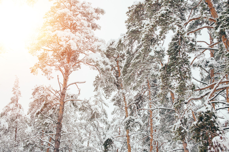 low angle view of snowy winter forest and sunlight