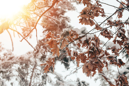 Close up view of oak leaves and twigs in snow with side lighting in winter forest Stock Photo