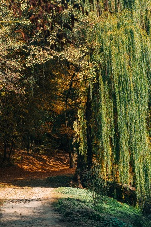 Pathway with sunlight near weeping willow tree in forest Stock Photo