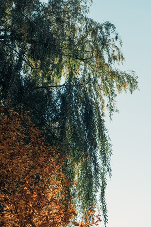 Bottom view of weeping willow tree and blue sky