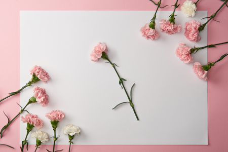 beautiful tender pink and white carnation flowers and blank card on pink background Stock Photo