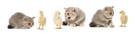 collage of cat and chicken isolated on white