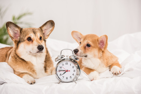 adorable  welsh corgi dogs lying in bed with alarm clock at home