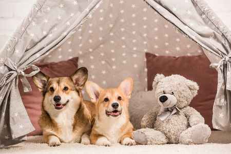 cute pembroke welsh corgi dogs lying in wigwam with teddy bear at home