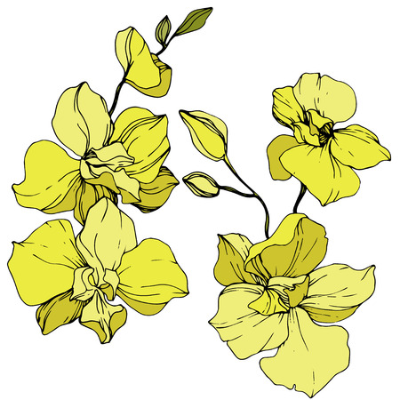 Vector Yellow Orchid. Floral botanical flower. Engraved ink art. Isolated orchid illustration element on white background. Archivio Fotografico - 125014838