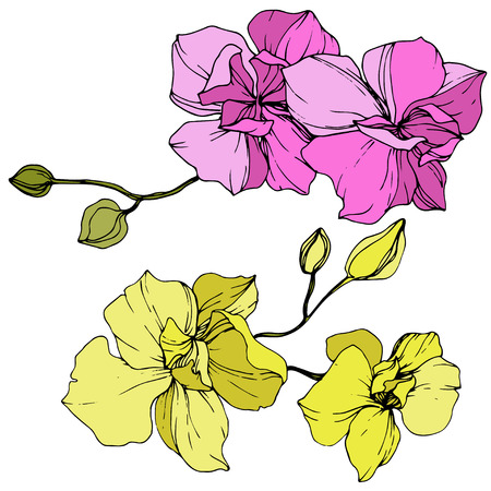 Vector Pink and yellow Orchid. Floral botanical flower. Engraved ink art. Isolated orchid illustration element on white background.