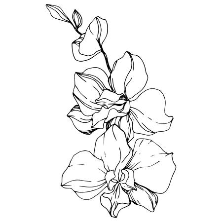 Vektor-Orchidee. Botanische Blumenblume. Schwarz-weiß gravierte Tinte Art.-Nr. Lokalisiertes Orchideenillustrationselement auf weißem Hintergrund.