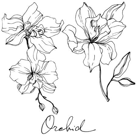 Vektor-Orchidee. Botanische Blumenblume. Schwarz-weiß gravierte Tinte Art.-Nr. Lokalisiertes Orchideenillustrationselement auf weißem Hintergrund. Vektorgrafik