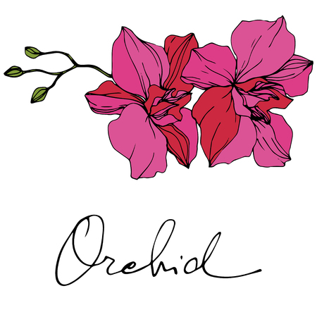 Vector Pink Orchid. Floral botanical flower. Engraved ink art. Isolated orchid illustration element on white background. Archivio Fotografico - 117644838