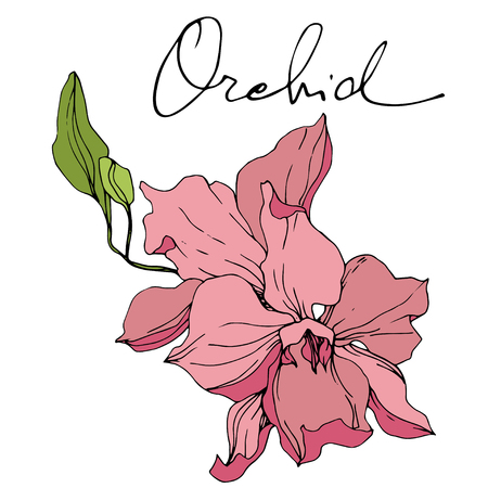 Vector Pink Orchid. Floral botanical flower. Engraved ink art. Isolated orchid illustration element on white background. Archivio Fotografico - 125014867