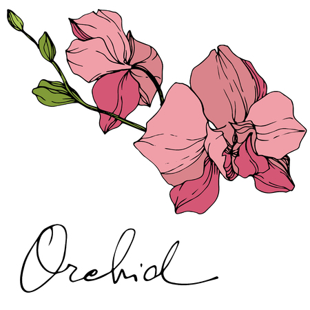 Vector Pink Orchid. Floral botanical flower. Engraved ink art. Isolated orchid illustration element on white background. Stock Illustratie