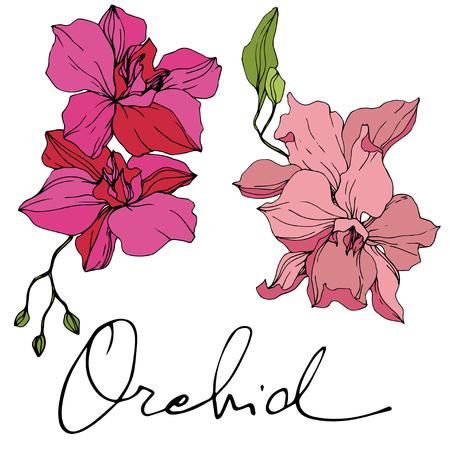 Vector Pink Orchid. Floral botanical flower. Engraved ink art. Isolated orchid illustration element on white background. Illustration