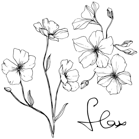 Vector. Isolated flax illustration element on white background. Floral botanical flower. Spring leaf wildflower. Black and white engraved ink art.
