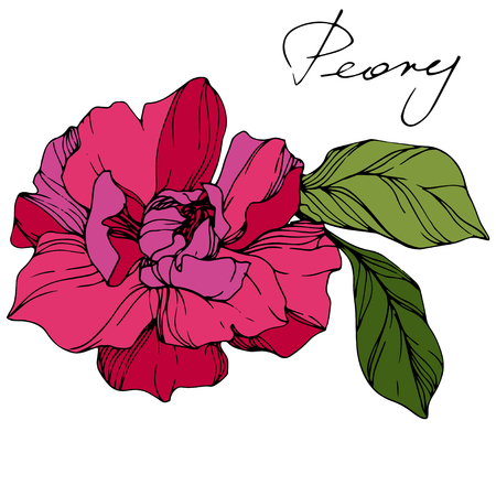 Vector Pink peony. Floral botanical flower. Wild spring leaf wildflower isolated. Engraved ink art. Isolated peony illustration element.