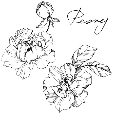 Vector Peony floral botanical flower. Wild spring leaf wildflower isolated. Black and white engraved ink art. Isolated peony illustration element. 일러스트