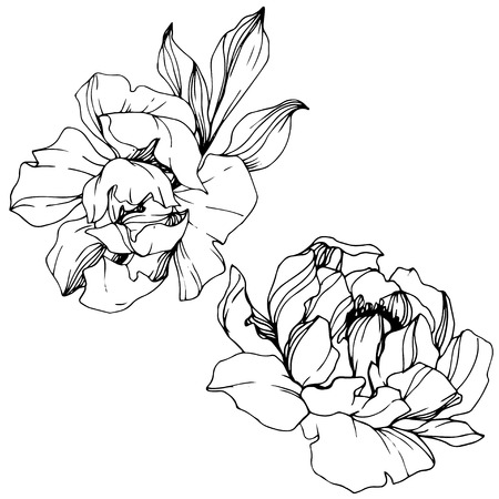 Vector Peony floral botanical flower. Wild spring leaf wildflower isolated. Black and white engraved ink art. Isolated peony illustration element. Vetores