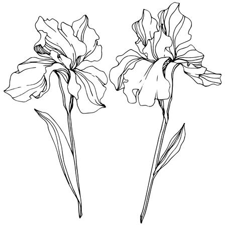Vector Iris floral botanical flower. Wild spring leaf wildflower isolated. Black and white engraved ink art. Isolated iris illustration element. Illustration