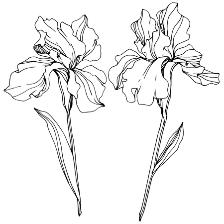 Vector Iris floral botanical flower. Wild spring leaf wildflower isolated. Black and white engraved ink art. Isolated iris illustration element. Ilustracja
