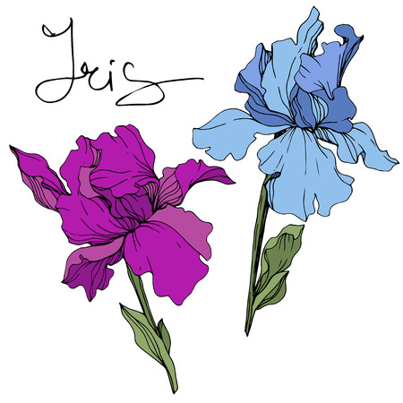 Vector Blue and purple iris. Floral botanical flower. Wild spring leaf wildflower. Engraved ink art. Isolated iris illustration element.