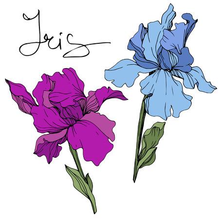 Vector Blue and purple iris. Floral botanical flower. Wild spring leaf wildflower. Engraved ink art. Isolated iris illustration element.