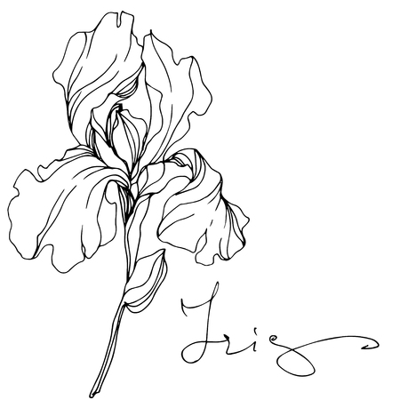 Vector Iris floral botanical flower. Wild spring leaf wildflower isolated. Black and white engraved ink art. Isolated iris illustration element.  イラスト・ベクター素材