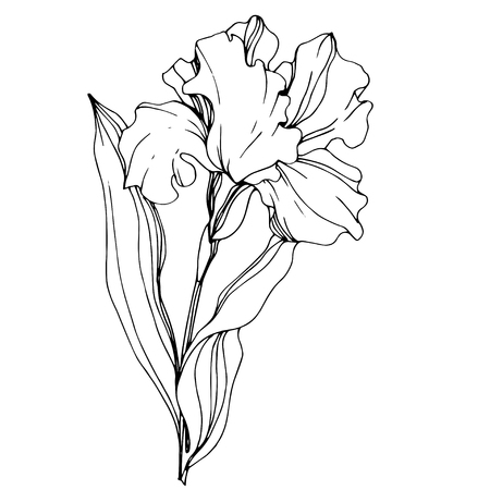 Vector Iris floral botanical flower. Wild spring leaf wildflower isolated. Black and white engraved ink art. Isolated iris illustration element.